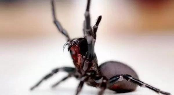 Aparece especie desconocida de arañas asesinas