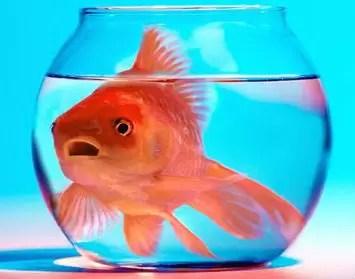 Peceras pequeñas favorece la agresividad de los peces