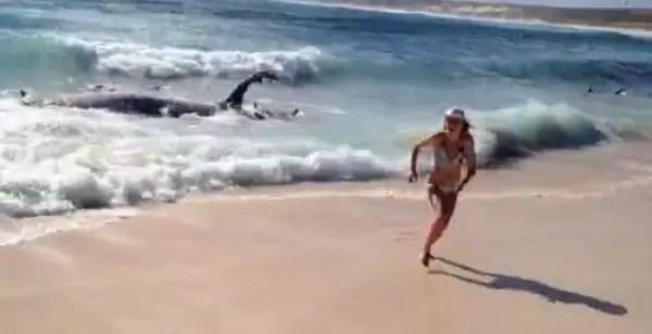 Video : Surfea entre tiburones que comen una ballena