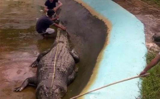 Fotos. Capturan al cocodrilo mas grande del mundo