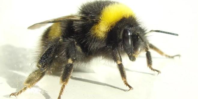 La importancia de los abejorros en el medio ambiente