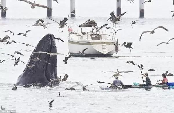 Espectaculares fotos de ballena jorobada