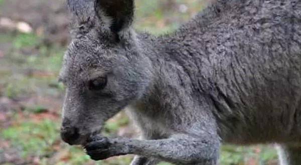 Canguro se escapa de zoo con ayuda de un zorro y un jabalí