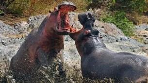 Asombroso ataque entre hipopótamos hambrientos