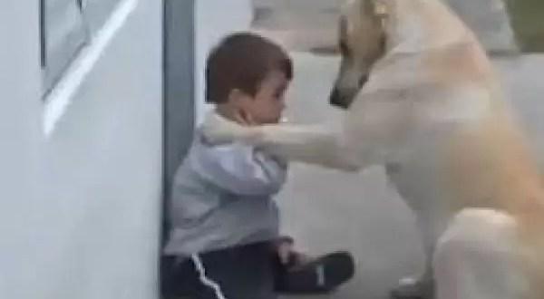 Video: un labrador cuida a niño con síndrome de Down