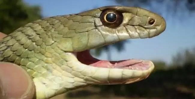 En venganza mata a mordiscos a la serpiente que lo mordió