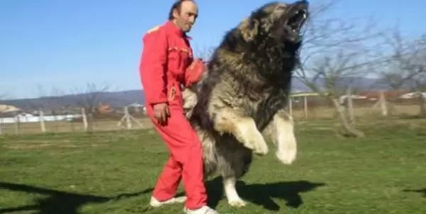 Fotos del perro más grande de la tierra