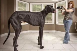 Video de 'Zeus' el perro más alto del mundo