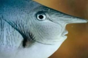 Foto: Extraño pez con 'rostro humano'