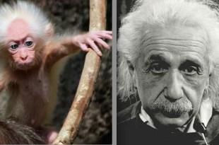 Fotos asombrosas: Macaco vivo retrato de Albert Einstein