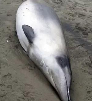 Ésta es la ballena más misteriosa de los océanos