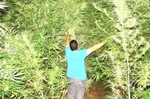 Precio de la marihuana oficial en Uruguay