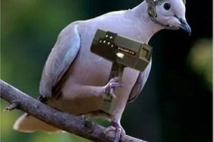 Detienen en Colombia a paloma mensajera narco