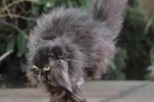 Video: Caffrey, el gato que perdió dos patas y puede caminar