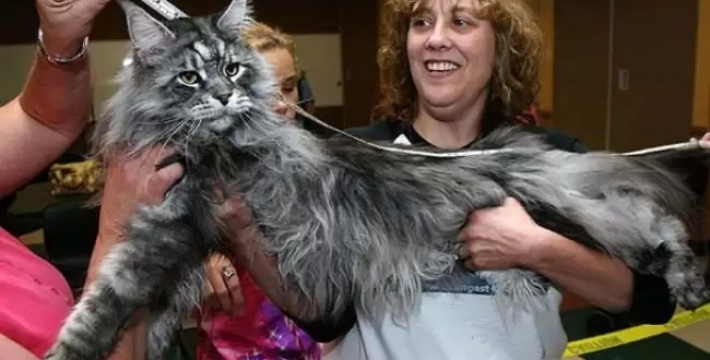 Se murió el gato más largo del mundo