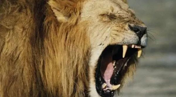 León se come a una mujer mientras intimaba con su pareja