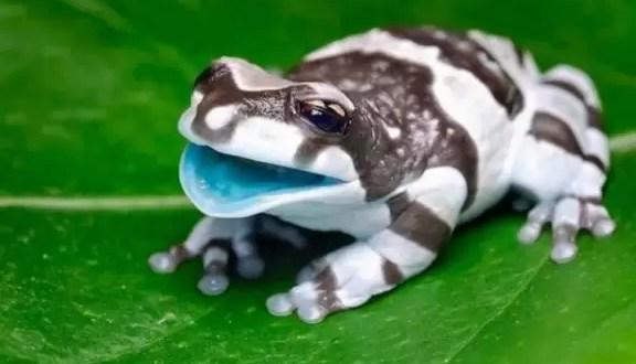 Fotos de la rana lechera amazónica