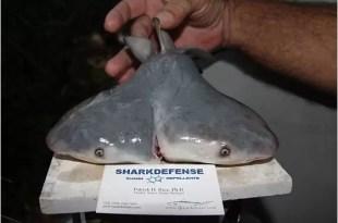 Hallan tiburón con dos cabezas en Florida