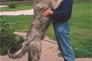 Conoce las razas gigantes de perros - Características