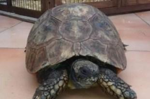 La tortuga más vieja murió tacada por una rata