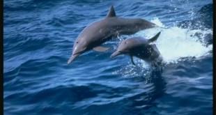 Cómo hacen los delfines para identificarse