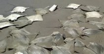 México: aparecen 300 mantarrayas muertas en la costa - Fotos