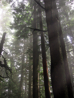 Trees on Dam Mountain, Vancouver
