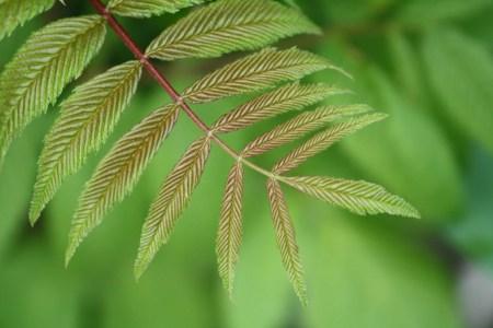 Narrow leaves