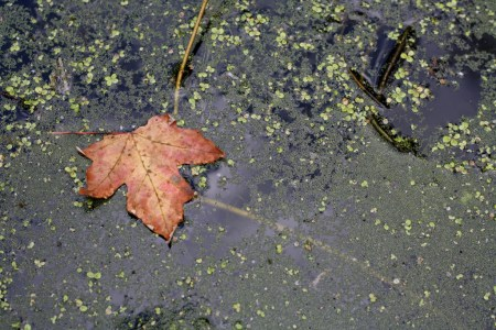 Red leaf in a pond