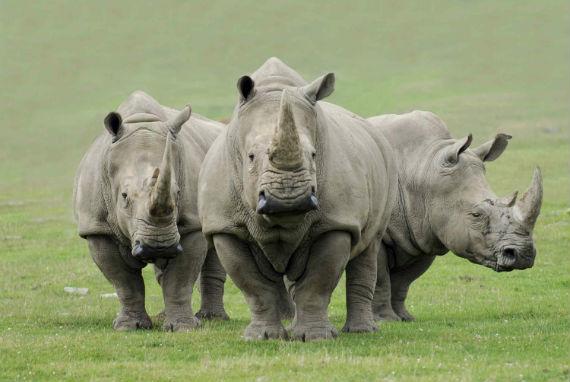 Los cuernos, el gran tesoro para los depredadores. Foto: Animal Planet