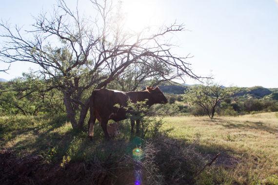 Bacanuchi vaca