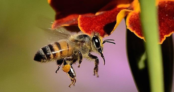 La adaptación de la abeja también afectará los paisajes y cosechas   Foto: Pixabay
