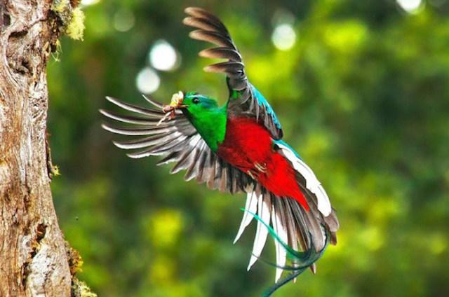 El quetzal, animal en peligro de extinción Foto: Archivo