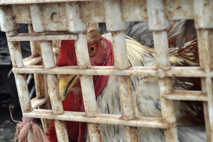 En México, la mayoría de las gallinas ponedoras pasan toda su vida confinadas en jaulas. Foto: Cuartoscuro.
