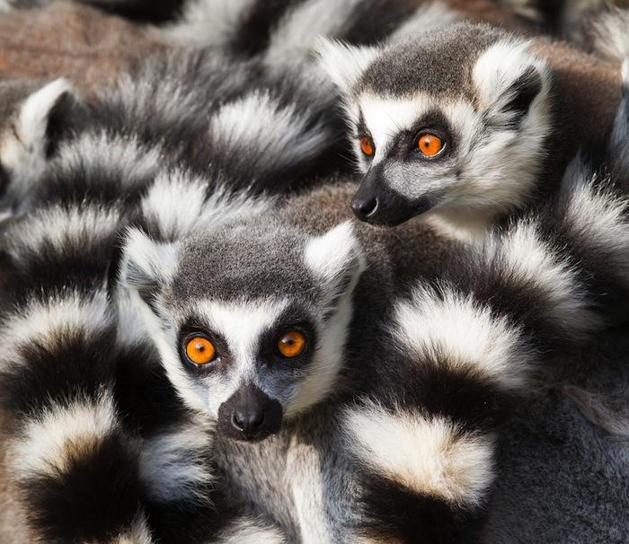 La mayoría de las sociedades de lémures son dominadas por hembras. Foto: Shutterstock.
