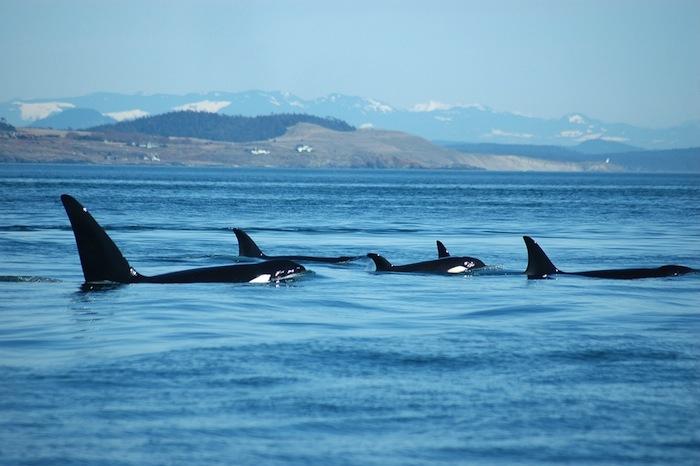 Las orcas también mantienen fuertes lazos sociales y familiares. Foto: Shutterstock.