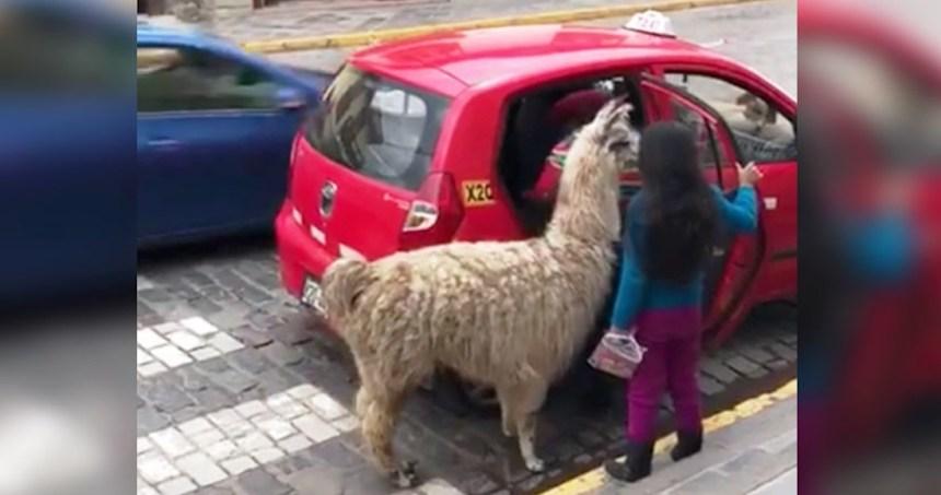 """llama taxi peru - VIDEO: """"Ay, señora. ¡No manche!"""". El conductor de un camión se espanta al ver a su última pasajera"""