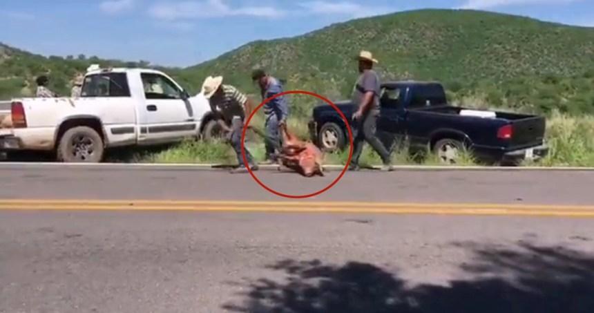 saqueo cerdos - VIDEOS: Un camión se vuelca en Zumpango, Edomex, y provoca la muerte de al menos 70 cerdos