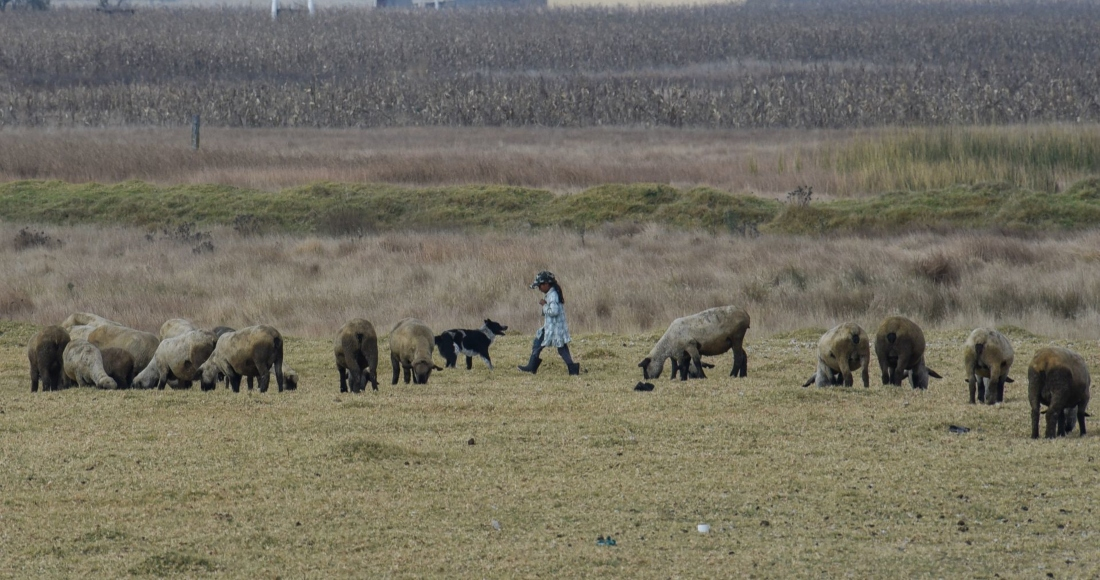 ganado-pecuarios-borregos