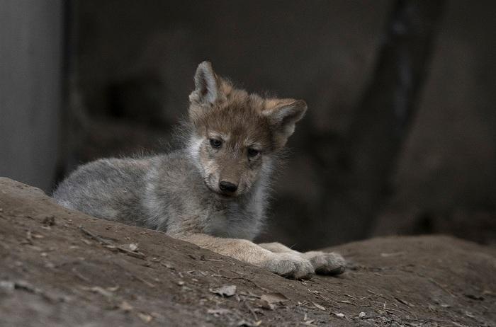 Camada de lobo mexicano