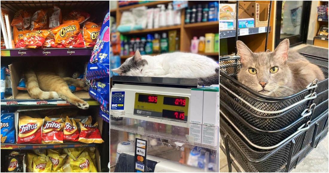 """Gatos que trabajan: Los """"Bodega Cats"""" invaden las redes sociales gracias a su empleo"""