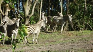 Animal Kingdom - Zoo Photo - Zebras
