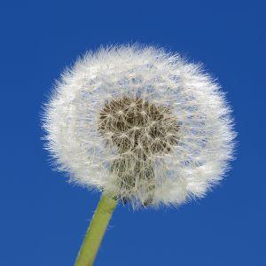 Dandelion - ¿Por qué viajar?