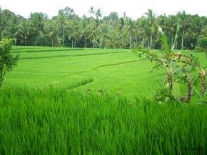 Terrazas de arroz en Ubud, Bali, Indonesia, sinmapa.net lugares favoritos