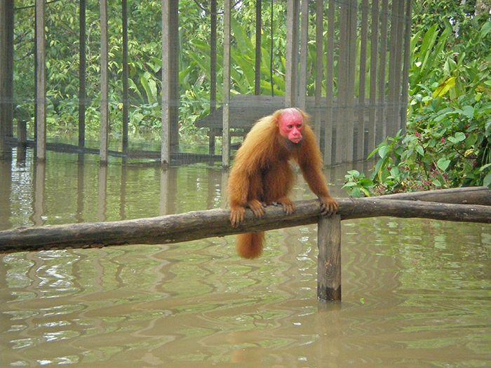 mono en la amazonía peruana