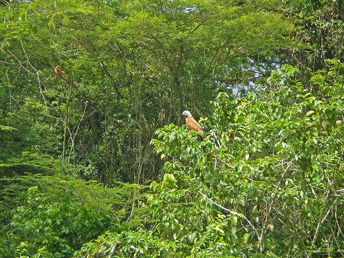 Avistamiento de aves Pacaya Samiria Amazonas Perú