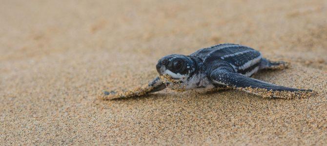 Sueño cumplido: liberar tortugas en Nicaragua
