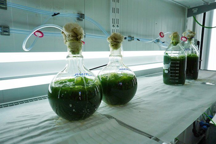 cultivo de microalgas