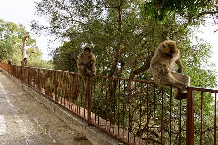 Ver monos en libertad en Gibraltar