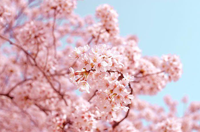 Quinta de los Molinos, cerezos en flor